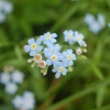 Flower, Myosotis sp. (Photo: Tapio Lindholm)