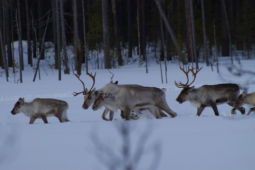 Endangered wild reindeers in Komi.