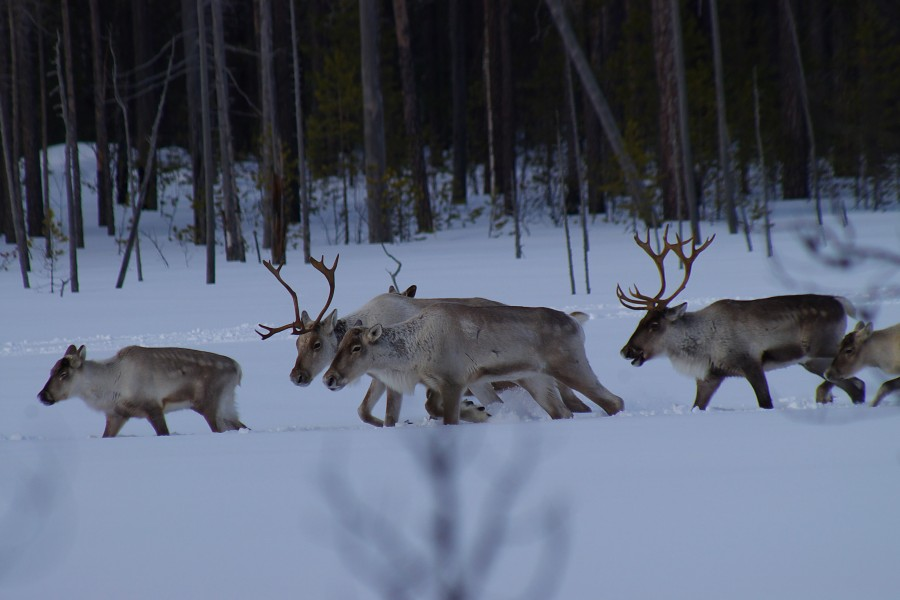 Expedition on wild reindeer habitat in Komi is completed ...