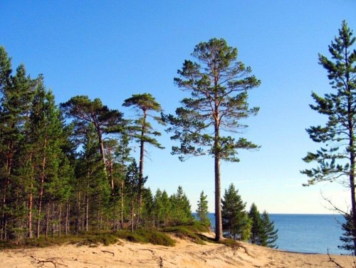 Coastal forest in Onezhkoye Pomorye (Photo: Alexey Ovchinnikov)