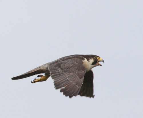 One of the Red Data Book species, peregrine falcon. (Photo: Pavel Gorbachev)