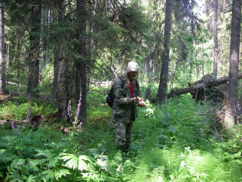 Alexei Kravchenko enjoying rich vegetation along a brook in old-growth spruce-dominated forest.